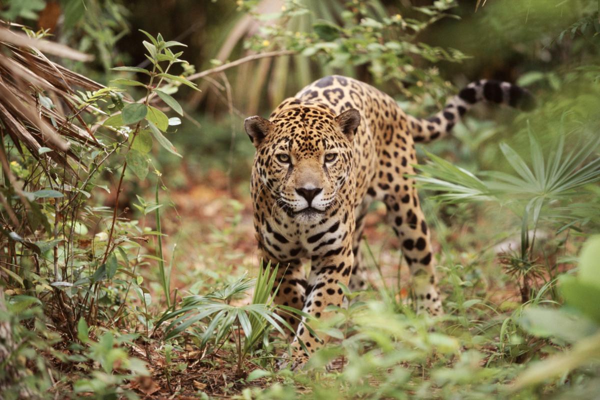 El Jaguareté
