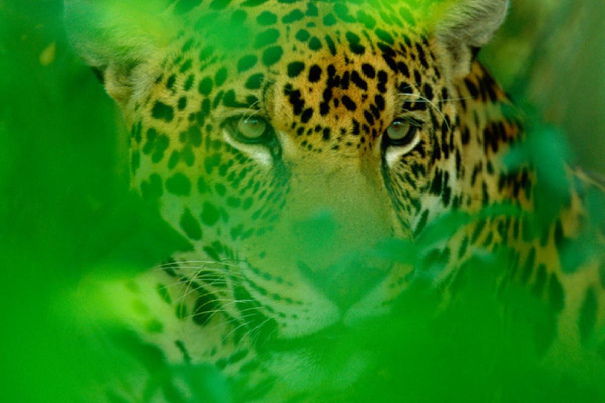 El Jaguareté y el Bosque Atlántico